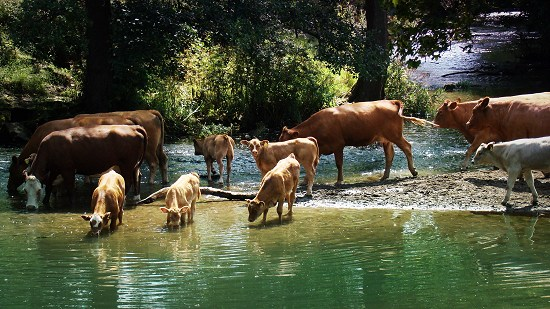 Cattle drinking from the River Chew at Publow