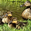 Ducklings in Keynsham Park