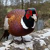 Pheasant on Uplands Bridge, Chewton Keynsham